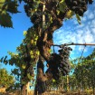 Sangiovese_grapevine